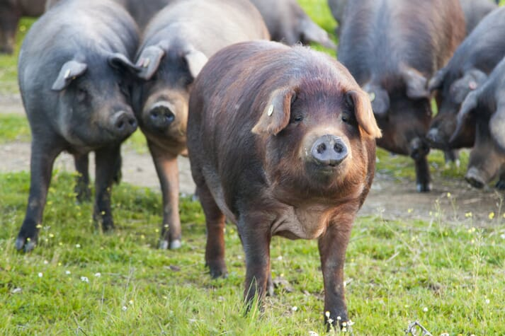 There is much more to Spain's pork production than the typical black Iberian pigs reared in the Spanish valleys
