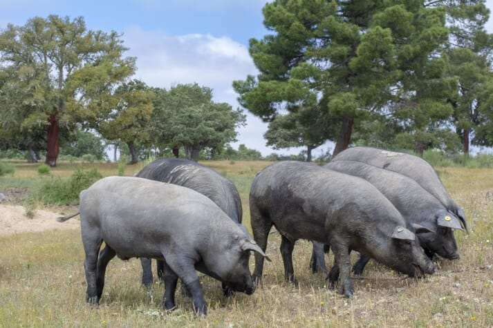 Iberian pigs foraging outdoors