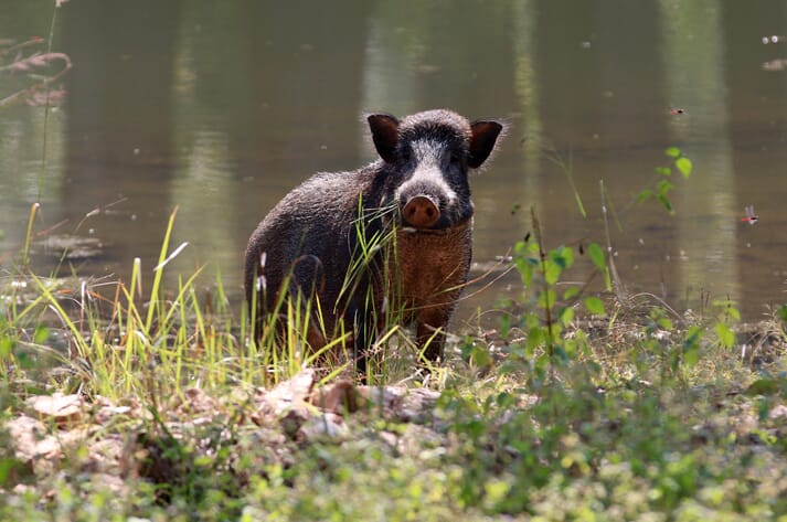 pig stands by a river in rural India