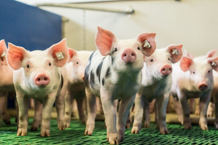 spotted piglets in an indoor facility looking at the camera