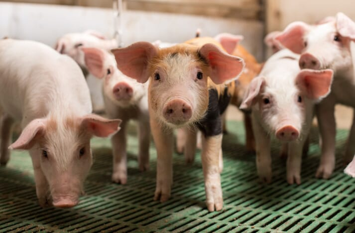 piglets standing on a slatted floor