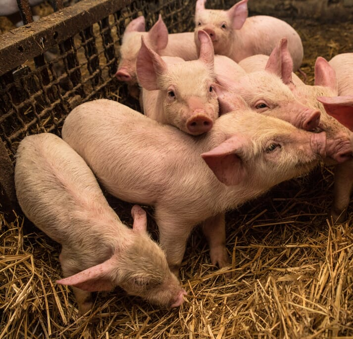 piglets huddle together in an indoor straw-based housing system