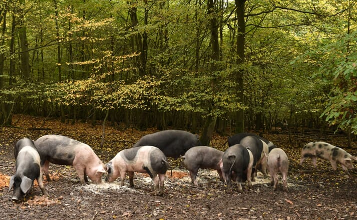 free range pigs eating in a forest