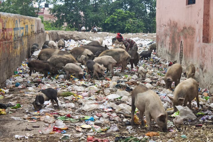 Most pig farmers in India belong to lower socio-economic strata and, due to the lack of regulations, disease occurrences can cause heavy economic losses in terms of production