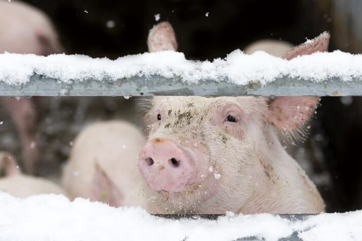 pig looking through a gate in the snow