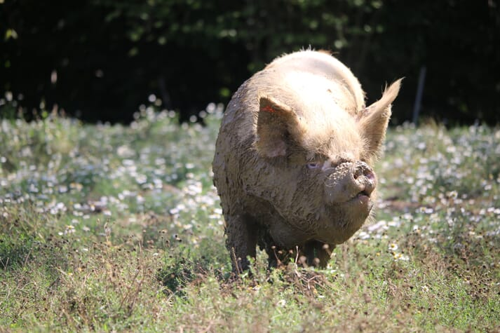 pig foraging in a wildflower meadow regenerative farming