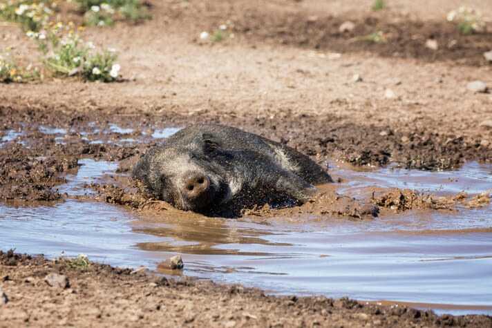 pig wallowing in mud on a hot day