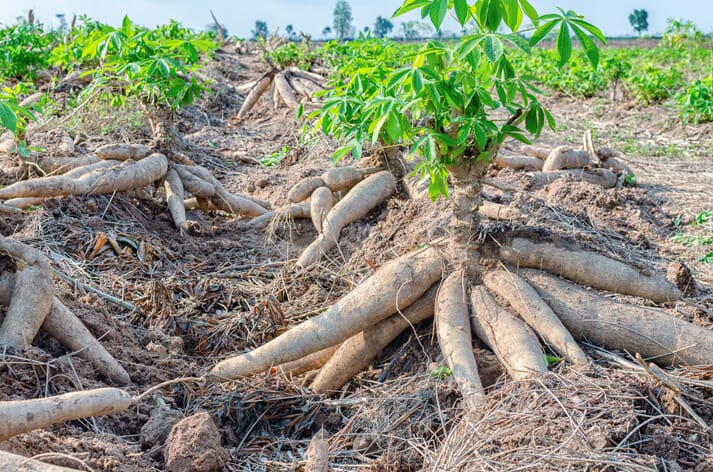 The sun shines on rows of ground-growing cassava in a field