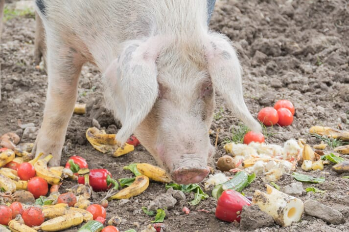 pig eating fruit and vegetables floor feeding