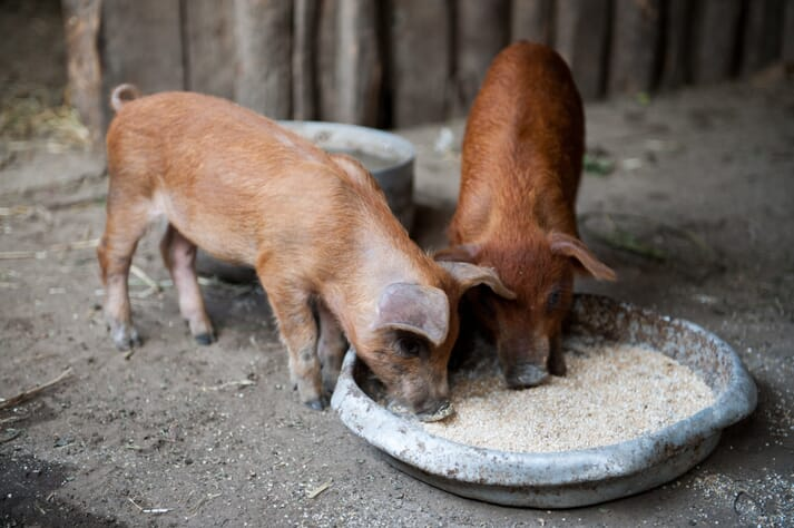 duroc piglets feeding from a bowl in a pen