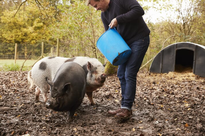 man feeds pigs in an outdoor, small-scale pig pen