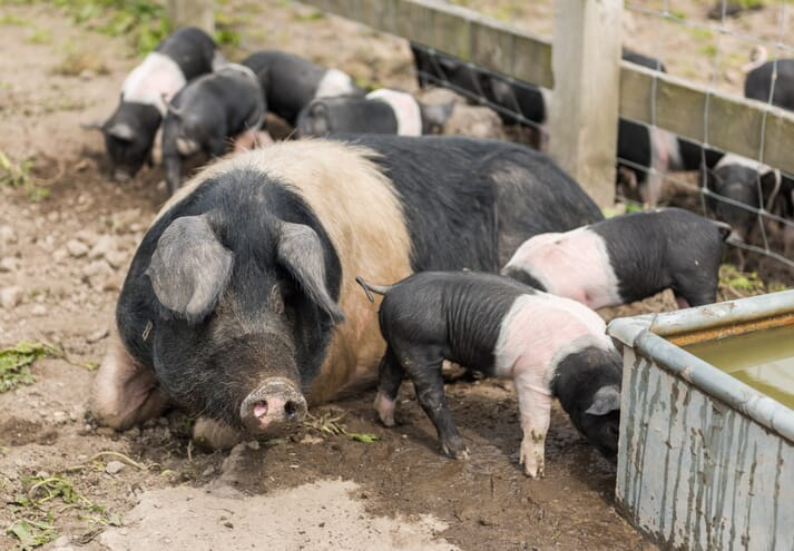 sow and piglets around a water trough outdoors