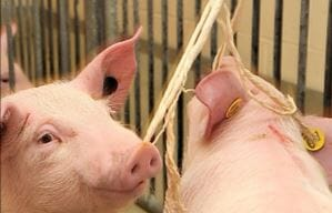 To collect an oral fluid sample, tie rope in an area that is easily accessible to all pigs in the pen