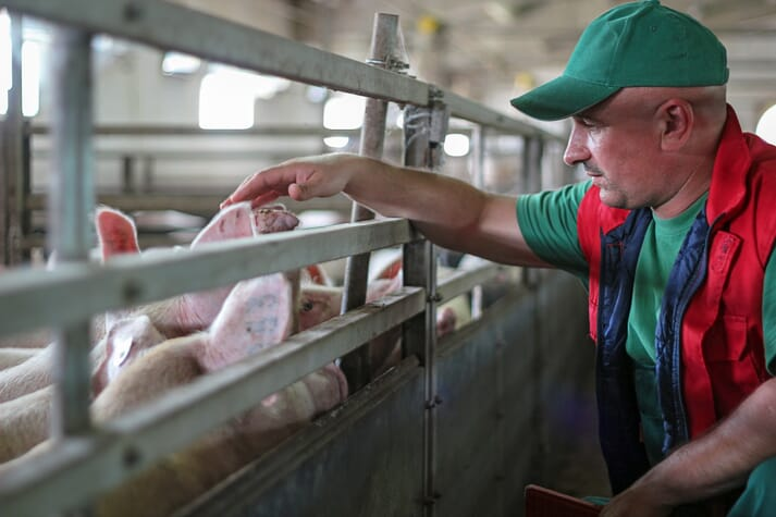 farmer interacts with pigs in an indoor pen