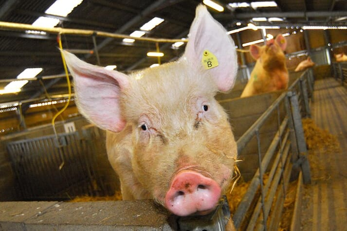 Blood cells made in the lab will be used to develop therapies for serious pig diseases.