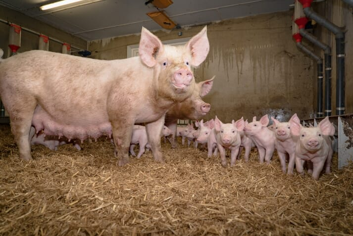 Group lactation supports the expression of some highly motivated behaviours, such as maternal interactions in sows and exploratory behaviour in piglets, with a reduction in harmful manipulative behaviour in piglets.