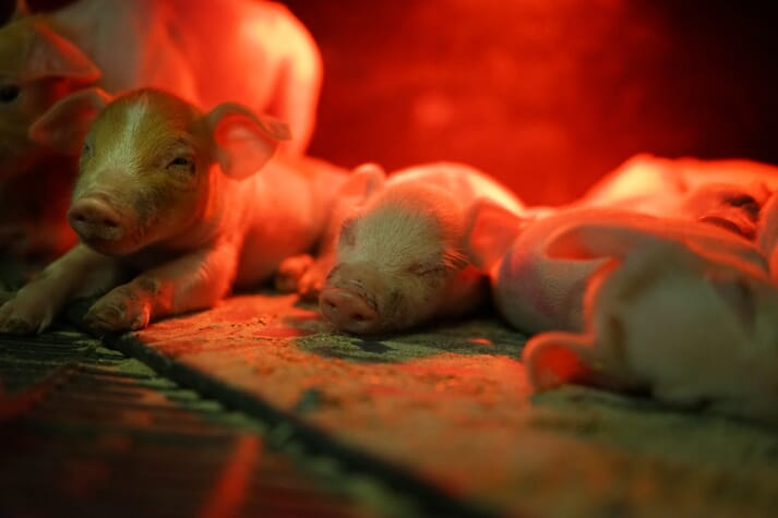 young piglets lie under a heat lamp in the farrowing pen