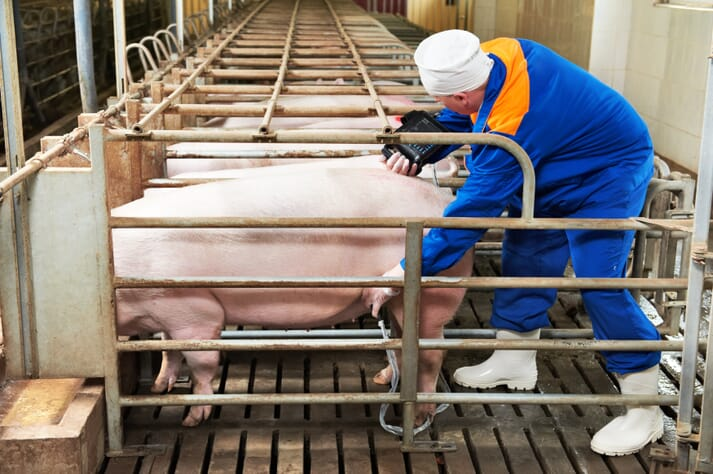 worker performing an ultrasound on a sow