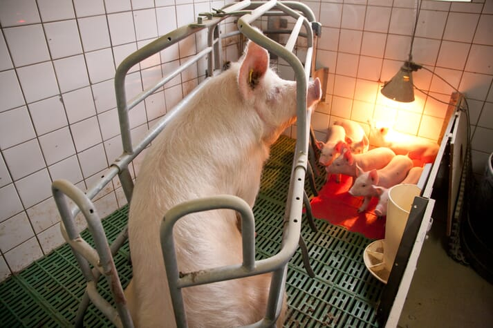 sow sitting in farrowing crate with piglets playing around her