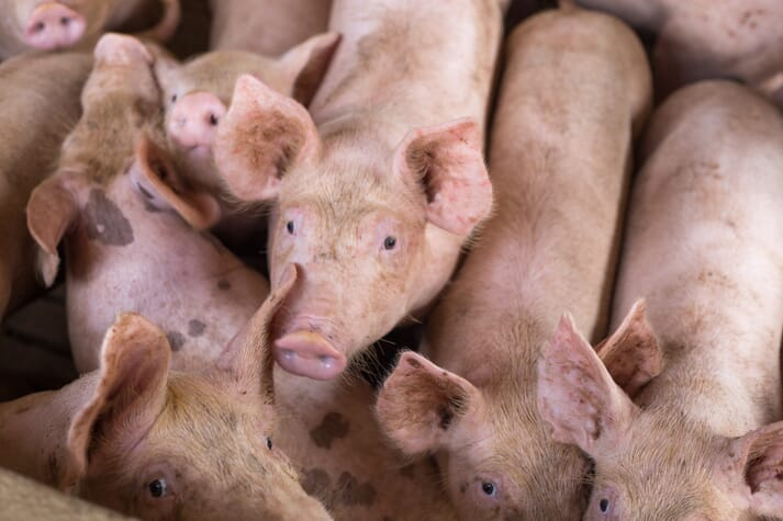 Pigs crowding near a fence