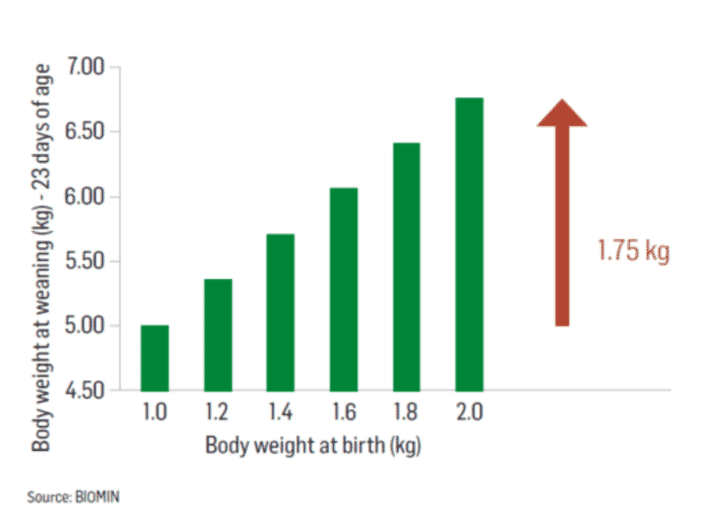 Figure 1 - Correlation between birth body weight and weight at weaning
