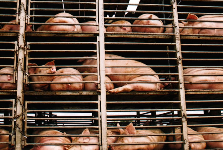 pigs being transported in open-side trailers in china