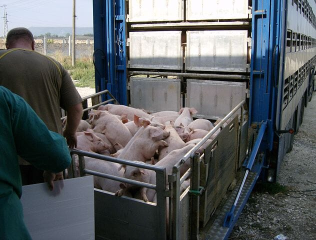 young pigs being loaded onto transportation