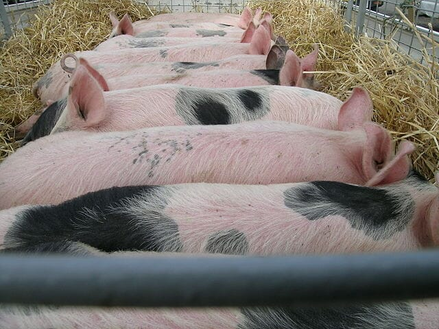 piglets in a transportation trailer