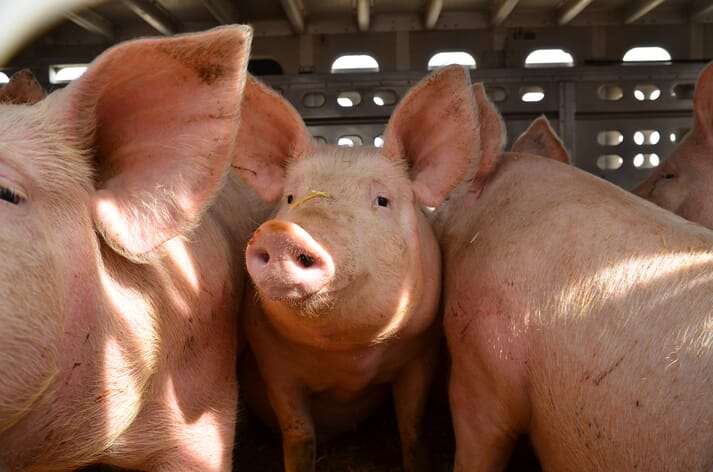 Transport has emerged as a significant welfare concern for the swine industry