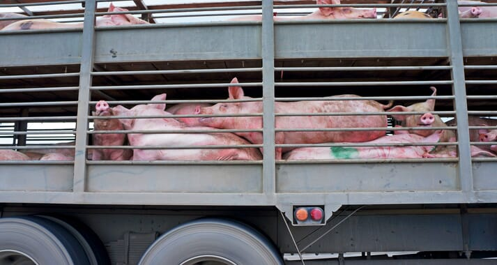 The type of vehicle and loading procedure can influence stress levels in market pigs