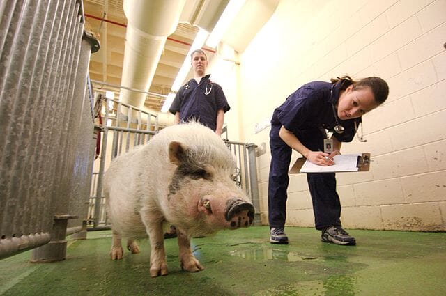 two vets assessing the health of a pig in a swine facility