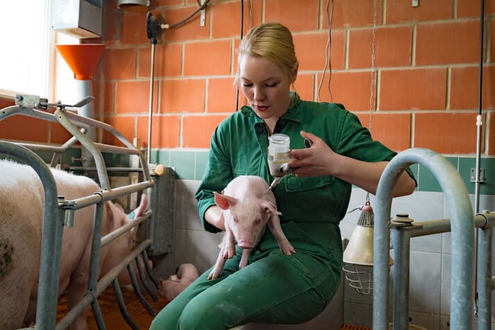 vet administers vaccine to young piglet next to farrowing crate