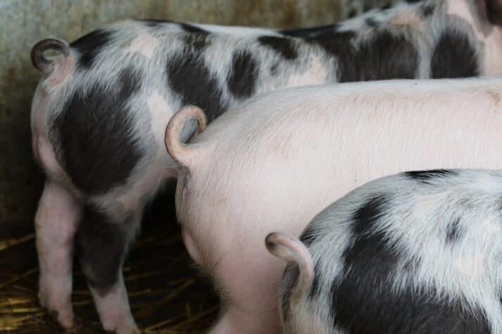 a group of piglets with curly tails standing in a line