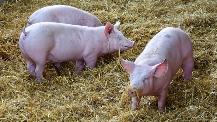 group housed sows in straw