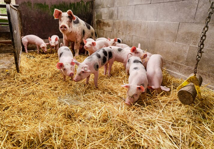 sow and piglets standing in a pen with straw enrichment