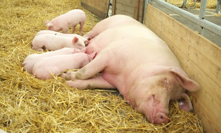 piglets suckle from a sow in an open straw pen