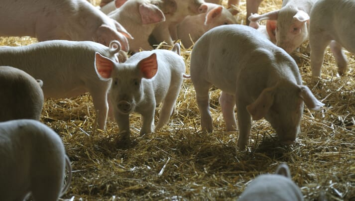 young pigs in a straw-based pen system