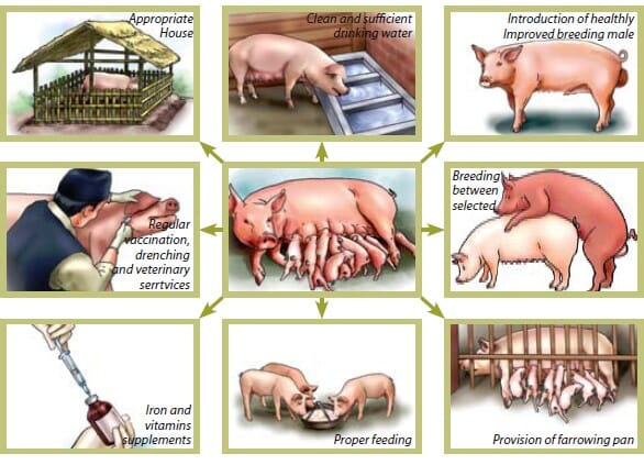 the elements required for good pig health based upon recommendations by the FAO for pig producers in Vietnam