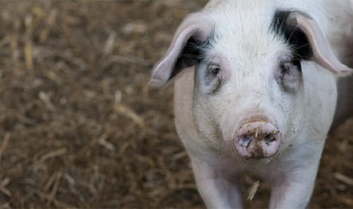 sustainable pig production,forage, the pig site