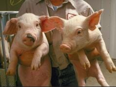 weaner pigs University Illinois