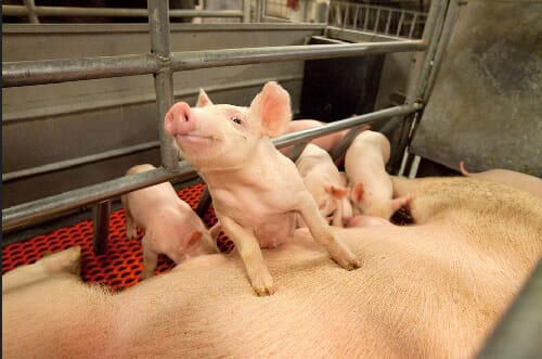 sow with piglets USDA ARS