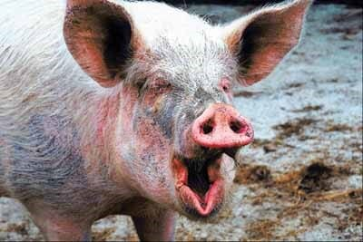 10 Surprising Facts About Pigs   The Pig Site