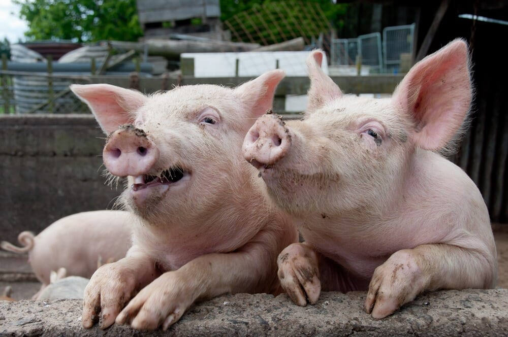 10 Surprising Facts About Pigs The Pig Site,How To Get Oil Stains Out Of Clothes With Baking Soda