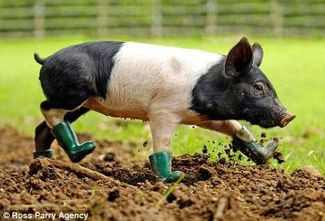 10 Surprising Facts About Pigs | The Pig Site