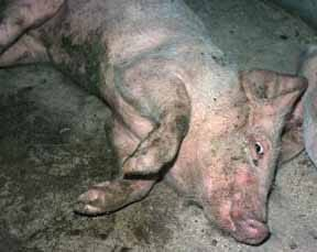 Grower pig with Streptococcal meningitis