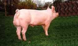 The Different Breeds Of Swine Large White Large White Pig