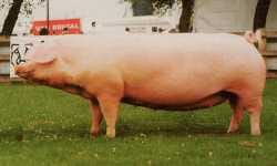 The Welsh Sow