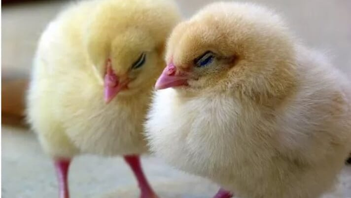 'Listening' to chicks could improve poultry welfare thumbnail image