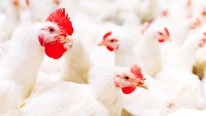 Broiler breeders are calmer, lay more eggs when fed twice a day thumbnail image