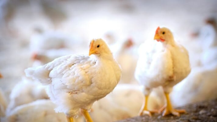 Higher activity in broilers with a good gait thumbnail image